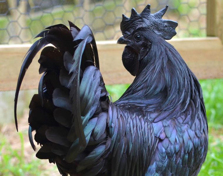 cemani-chickens-03